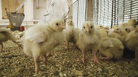 Инновационное развитие технологии инкубации яиц в условиях современной птицефабрики